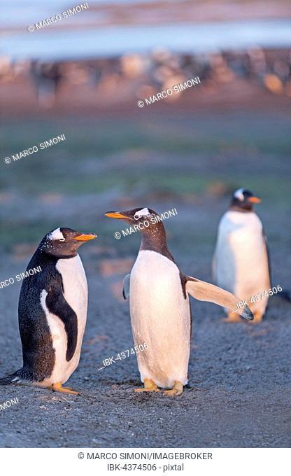 Gentoo penguins (Pygoscelis papua papua), Sea Lion Island, Falkland Islands, South Atlantic