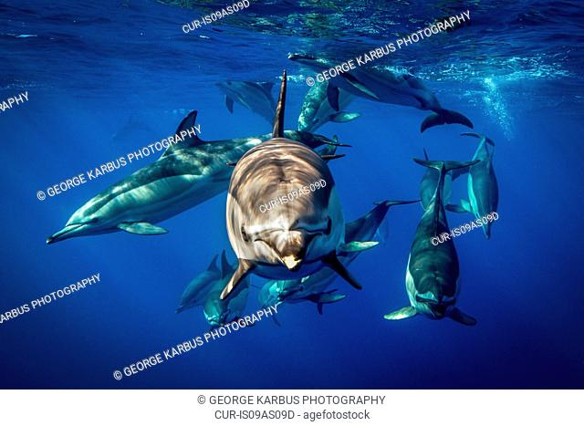 Common dolphins, Pico, Portugal