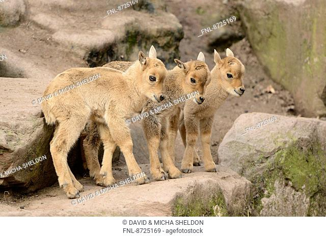Barbary sheep (Ammotragus lervia) lambs playing around