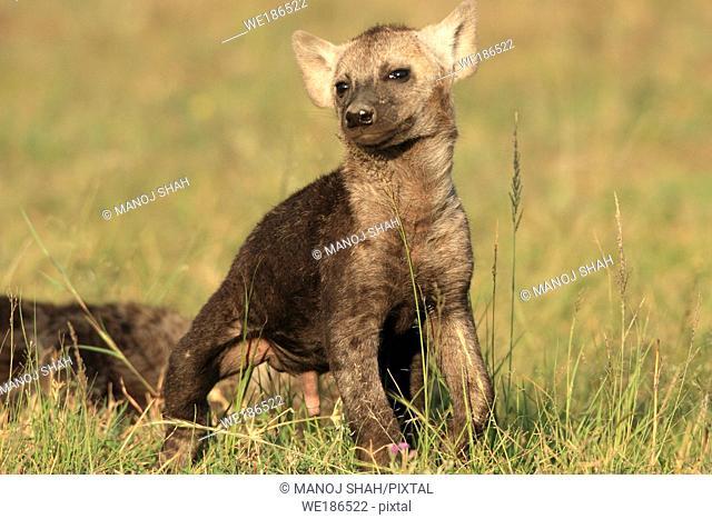 Hyaena cub, savannah, Masai Mara Natonal Reserve, Kenya