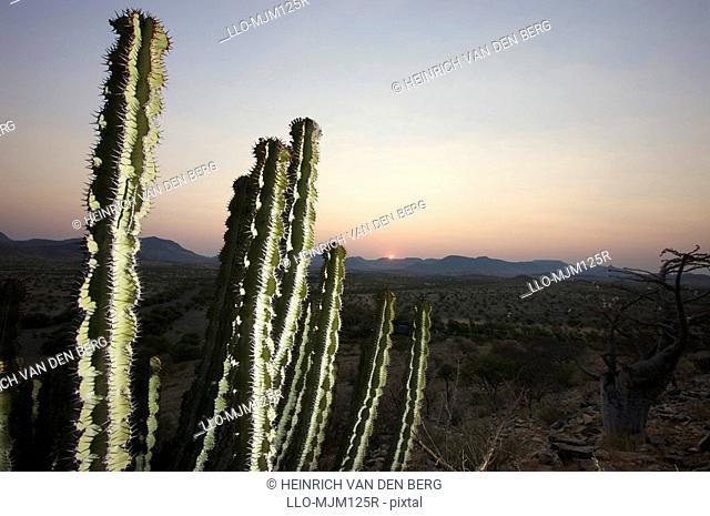 Close-up of Euphorbia sp., at sunset, side lit by flood light, Marienflusstal area, Kaokoland, Namibia