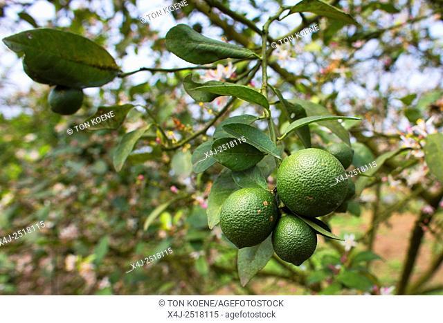lemons in Vietnam