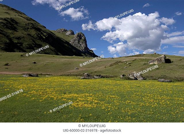 Wildflowers bloom on the high altitude grasslands of Litang county - Kham, Sichuan Province, China, Tibet