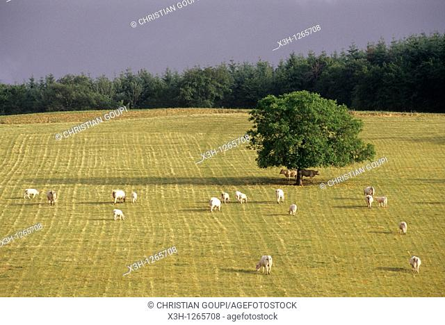 cattle in meadow under a stormy sky, Nievre department, region of Burgundy, center of France, Europe