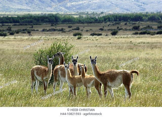 Paso Rodolfo Roballos, As sharp, Patagonia, Chile, Guanako, llama, lama, guanicoe, stoves, ranges, herd