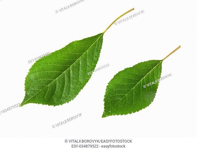 Two green leaves cherry isolated on white background