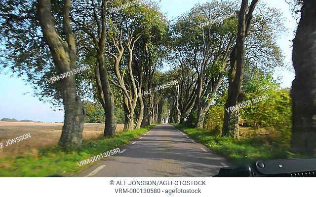 Old trees in avenue