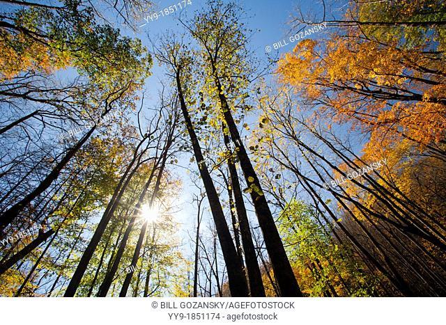Fall Leaves - Trail to Moore Cove Falls - Pisgah National Forest - near Brevard, North Carolina, USA