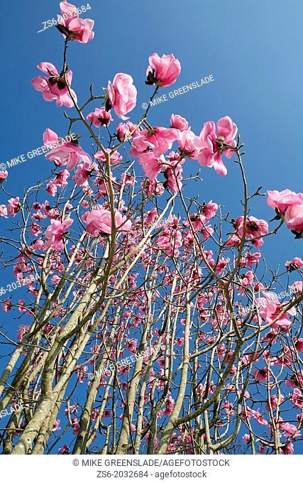 Magnolia, Burncoose Gardens, Cornwall, UK