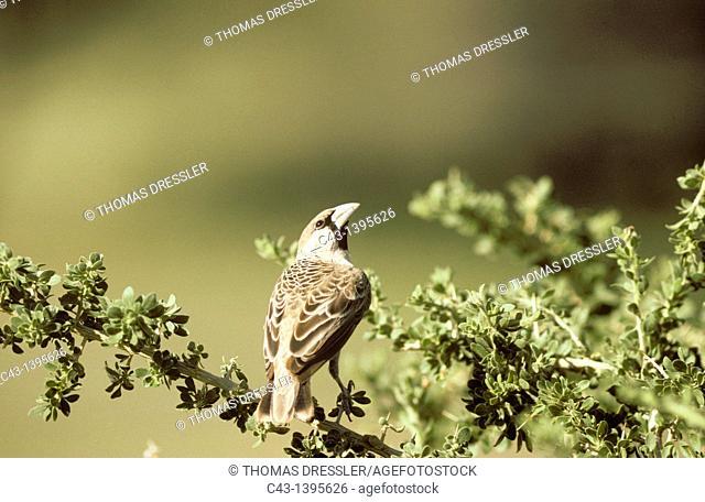 Sociable Weaver Philetairus socius - During the rainy season with green surroundings  Kalahari Desert, Kgalagadi Transfrontier Park, South Africa