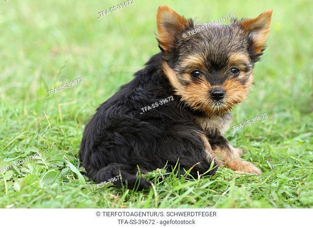 sitting Yorkshire Terrier Puppy
