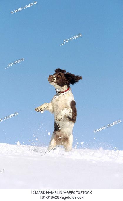 Springer Spaniel puppy (4 months old) playing in snow. Scotland