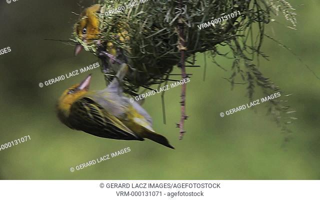 Speke's Weaver, ploceus spekei, Females Fighting on Nest, Bogoria Park in Kenya, Real Time