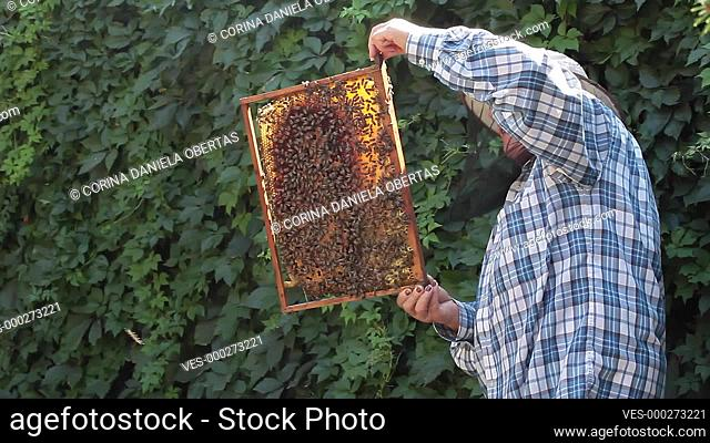 Senior woman beekeeper taking out from the hive and inspecting a frame full of bees