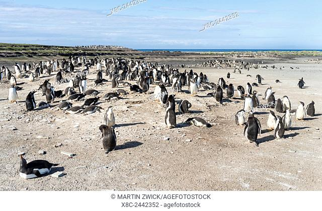 Gentoo Penguin (Pygoscelis papua) on the Falkland Islands, rookery. South America, Falkland Islands, January
