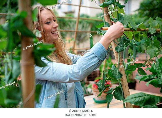 Young woman in urban garden, wrapping growing plants around wooden canes
