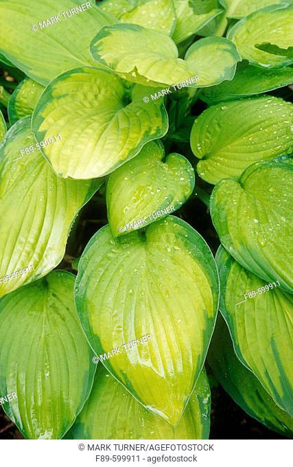 Hosta foliage (Hosta cv.). Sunshine Farm, Renick, WV