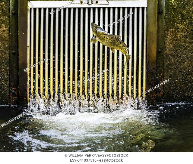Chinook Salmon Jumping Issaquah Hatchery Washington. Salmon swim up the Issaquah creek to the Hatchery