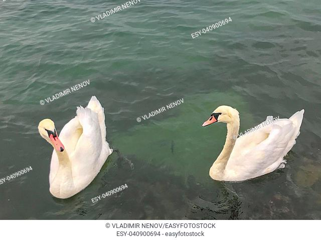View Of Swans In Calm Water