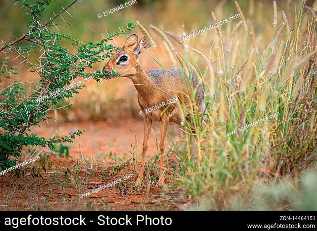 Kirk-Dikdik (Madoqua kirkii) in Namibia