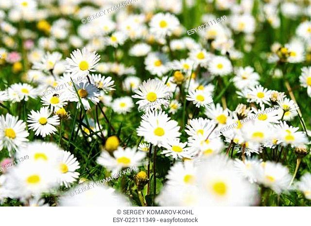 Background of chamomile