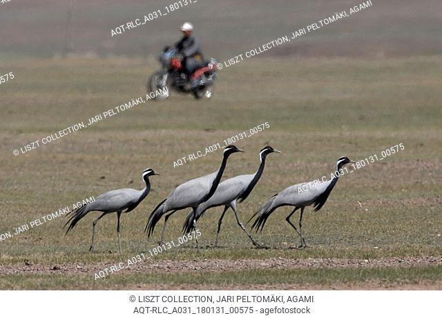 Demoiselle Crane standing on field, Demoiselle Crane, Grus virgo