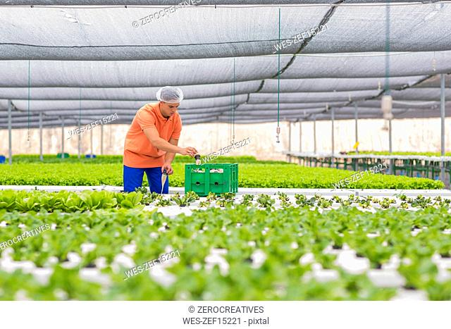 Greenhouse worker packing vegetable crate