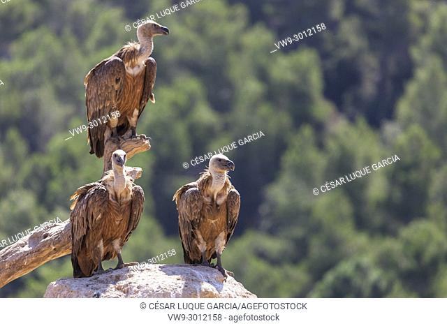 group of vultures resting on a branch and a rock after feeding. Mas de Bunyol, Valderrobres, Aragon, Spain