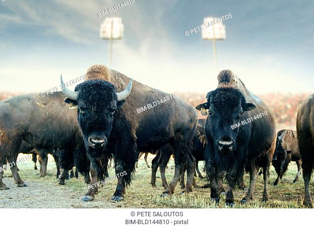 Buffalo herd standing in field at sports stadium
