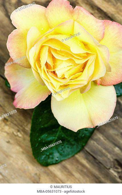 Rose on wooden ground, close-up