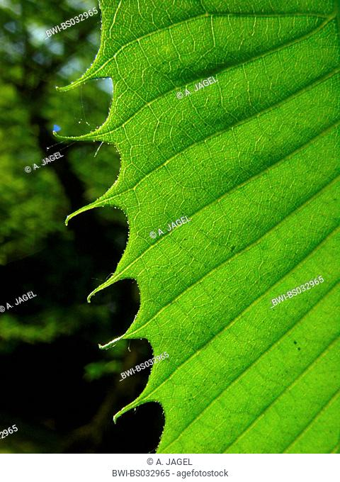 Spanish chestnut, sweet chestnut (Castanea sativa), margin of a young leaf in backlight