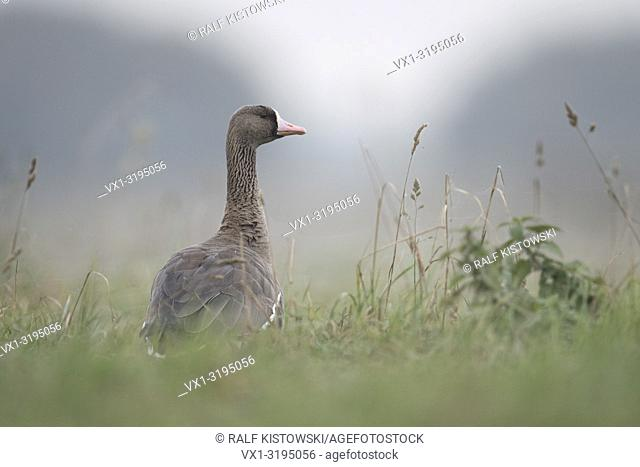 Greater White-fronted Goose (Anser albifrons), adult, resting, sitting in high grass of a meadow, watching attentively