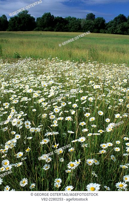 Daisy meadow, Willamette Mission State Park, Oregon