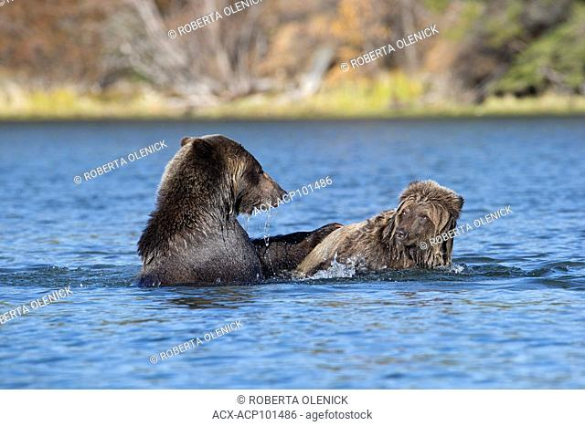 Grizzly bear (Ursus arctos horribilis), female (right) and two-year old cub play wrestling, Central Interior, British Columbia, Canada