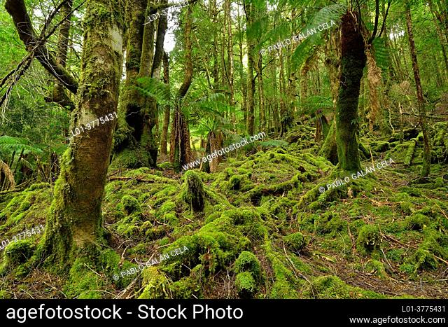 Creepy Crawly Walk. South West National Park, Tasmania (Australia)