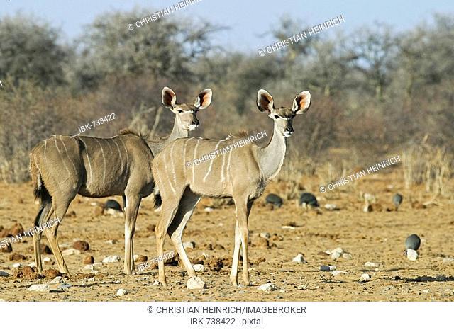 Greater Kudus (Tragelaphus strepsiceros), Etosha National Park, Namibia, Africa