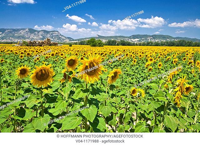 A big sunflower field in Provence, France, Europe