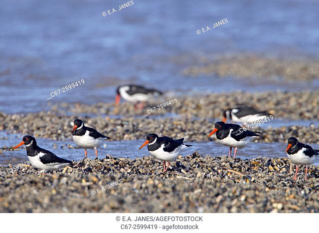Oyster Catchers Haematopus ostralegus Feeding as tide recedes on The Wash Norfolk