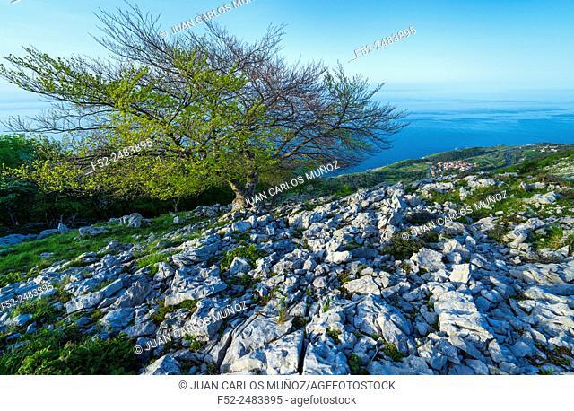 Beech, Cerredo Mountain, Cantabrian Sea, Castro Urdiales, Cantabria, Spain, Europe