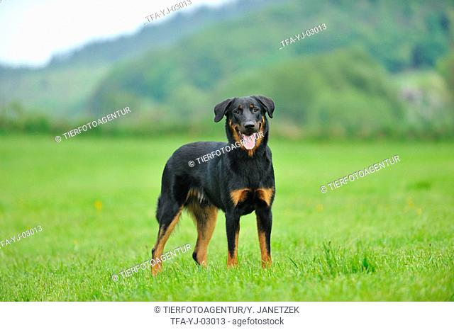 standing Beauceron