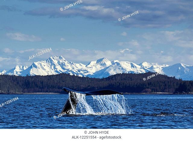 A Humpback Whale lifts it flukes as it returns to the depths to feed in the calm waters of Lynn Canal, Inside Passage, Alaska, near Juneau