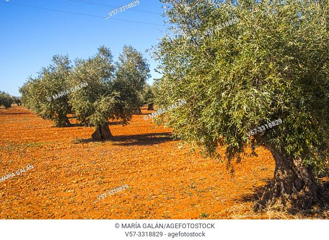 Olive grove. Toledo province, Castilla La Mancha, Spain