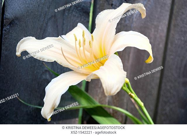 A light peach Daylily bloom in front of a weathered fence