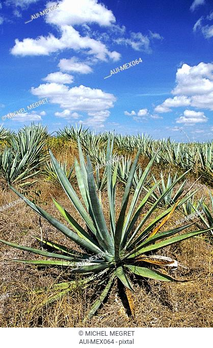 Mexico - Yucatan - Agaves at Sisal