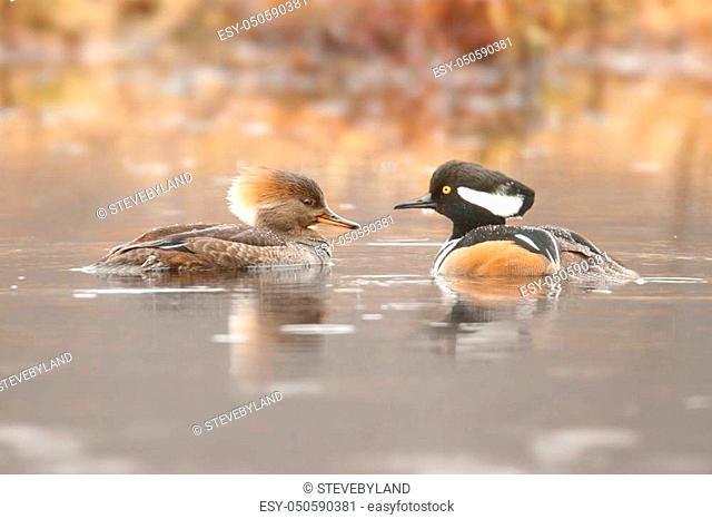Pair of Hooded Merganser (Lophodytes cucullatus) swimming
