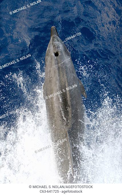 Adult bottlenose dolphin (Tursiops truncatus) bow riding the National Geographic Endeavour in the waters surrounding Ascension Island in the south Atlantic...