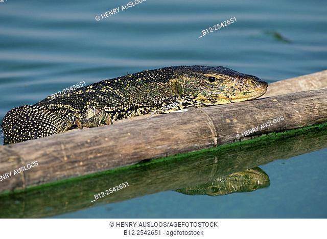Water monitor lizard Varanus salvator, Thailand