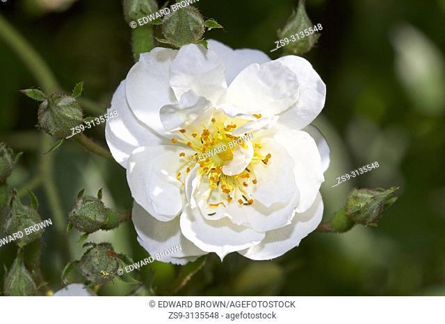 Climbing rose, Rosa 'Rambling Rector' flower head