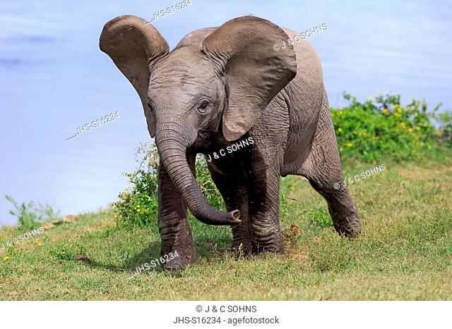 African Elephant, (Loxodonta africana), young walking, Addo Elephant Nationalpark, Eastern Cape, South Africa, Africa