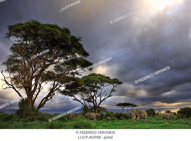 African Elephants Loxodontaafricana and acacias with a stormy sky, Amboseli National Park, Kajiado District, Kenya, Africa